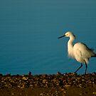Snowy Egret Strut by Jonicool