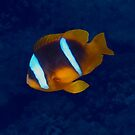 Red Sea Anemonefish On Blue by hurmerinta