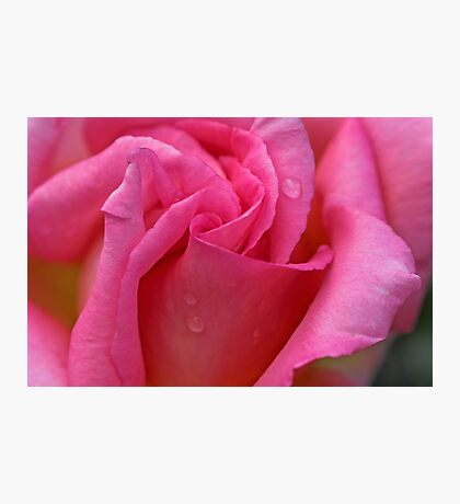 The Perfect Rose Photographic Print