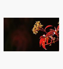 Autumnal Red Creeper Photographic Print
