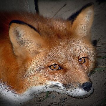 Red Fox by johnny55