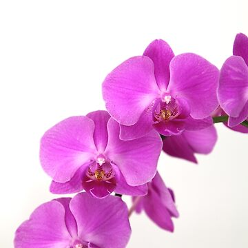 purple orchid 1 by p-insolito