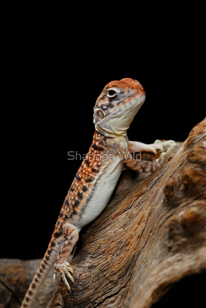 Central Netted Dragon [Ctenophorus nuchalis] by Shannon Wild