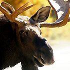 Big Bull Maine Moose by Enola Wagner