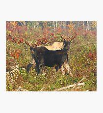 Maine Bull Moose x2 Photographic Print