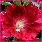 beautiful crimson - hollyhock by picketty