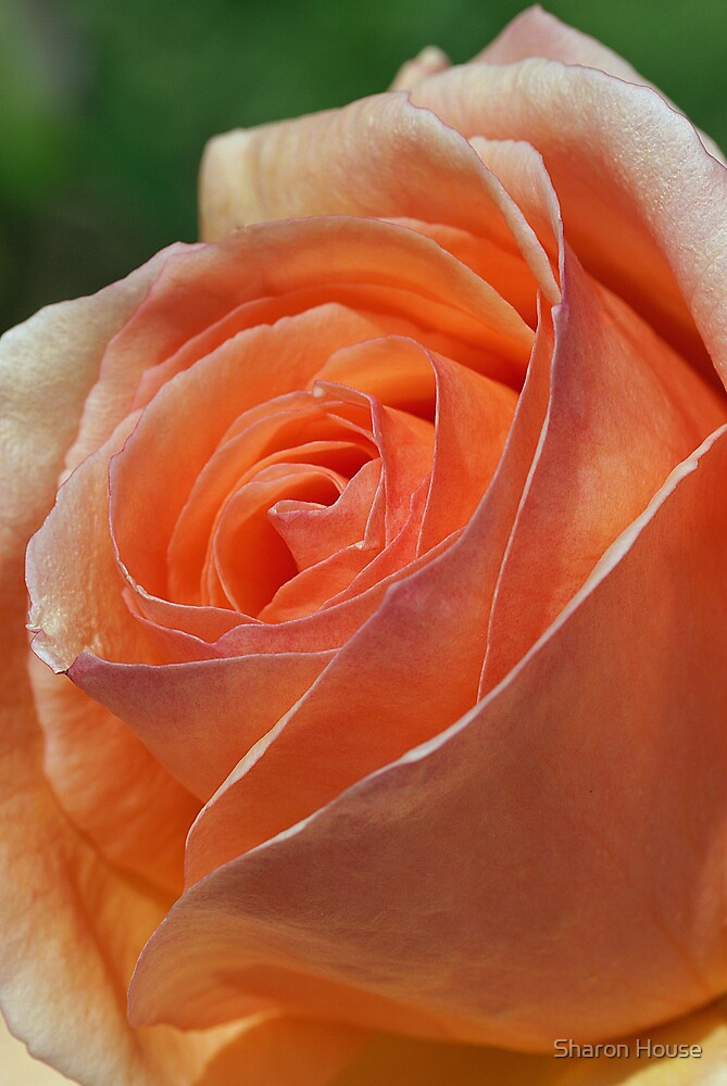 Apricot Gem by Sharon House