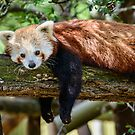 Relaxing Red Panda  by Chris  Randall
