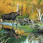 Maine Moose reflection  by Enola Wagner