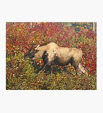 Piebald Bull Moose in Maine Photographic Print