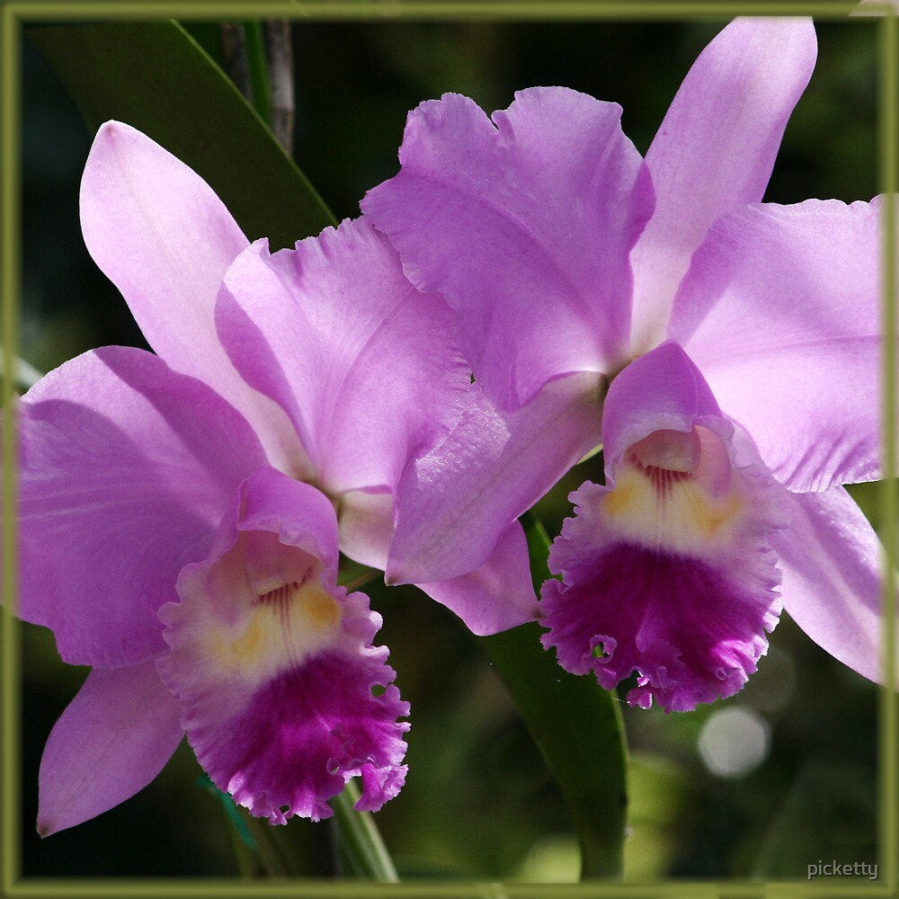 beautiful magenta - orchid by picketty