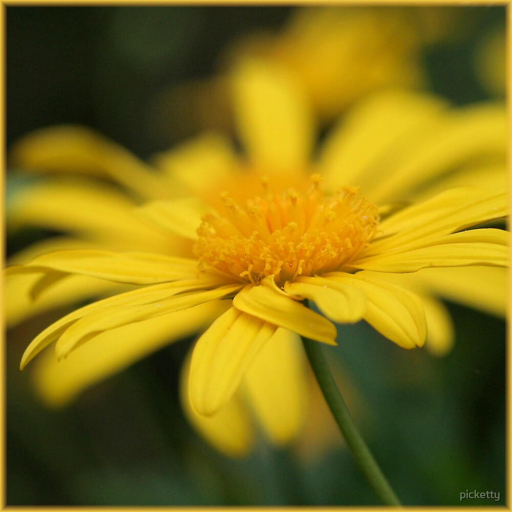 beautiful yellow - daisy by picketty