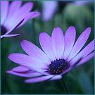 beautiful pink- daisy by picketty