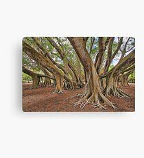 Ficus Microcarpa  Canvas Print