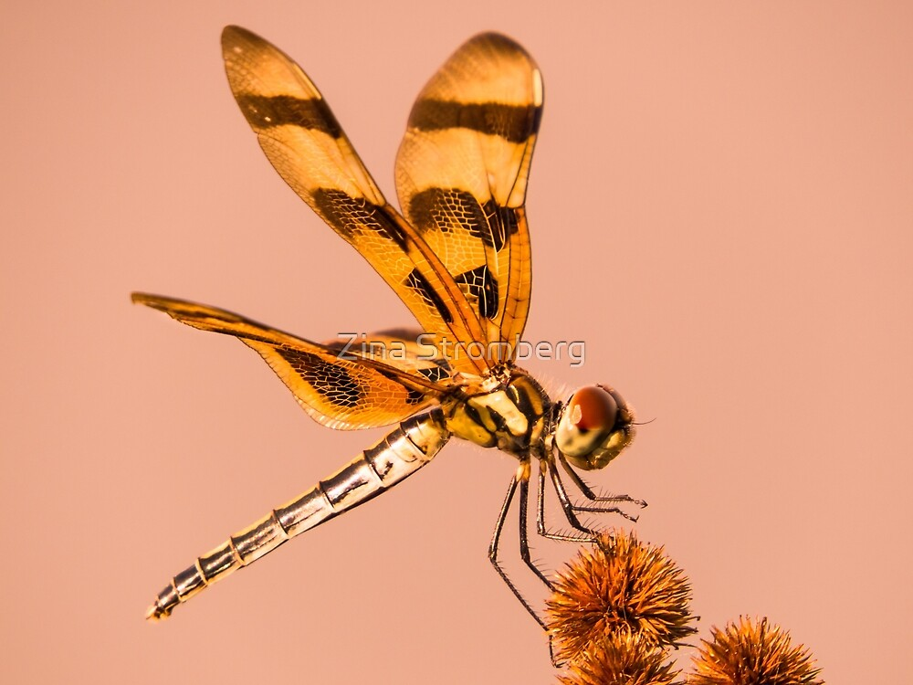 Dragonfly On Bur-reed by Zina Stromberg