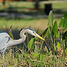 Great Blue Heron by Howard S Taylor