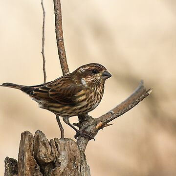 Female Purple Finch by nscphotography