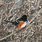 Spotted Towhee - 3540 by BartElder