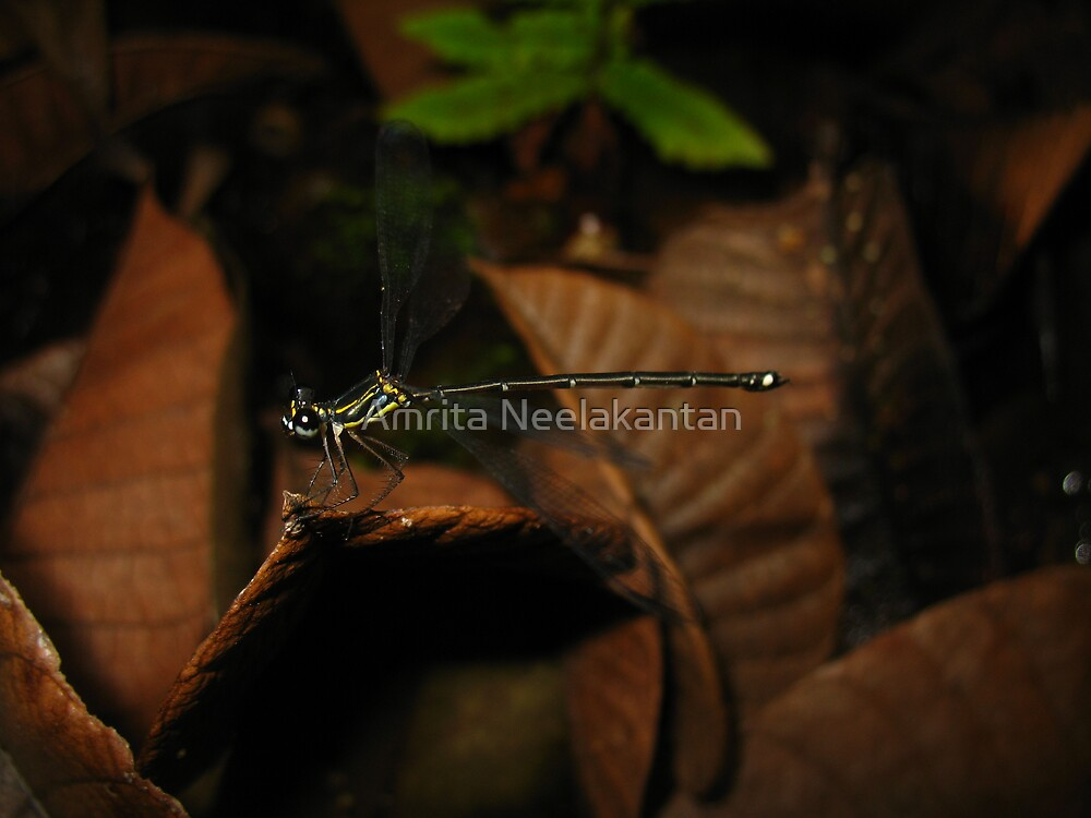 Striped Damsel - Madagascar Rainforest by Amrita Neelakantan