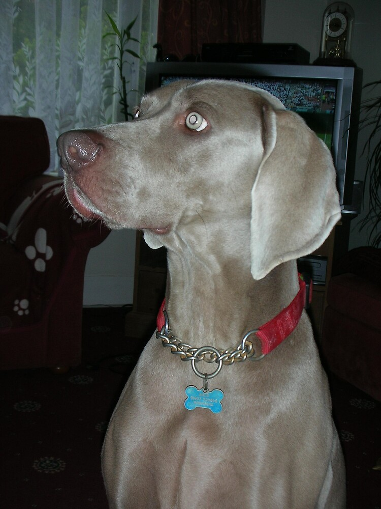 Weimaraner- Dog by chico123