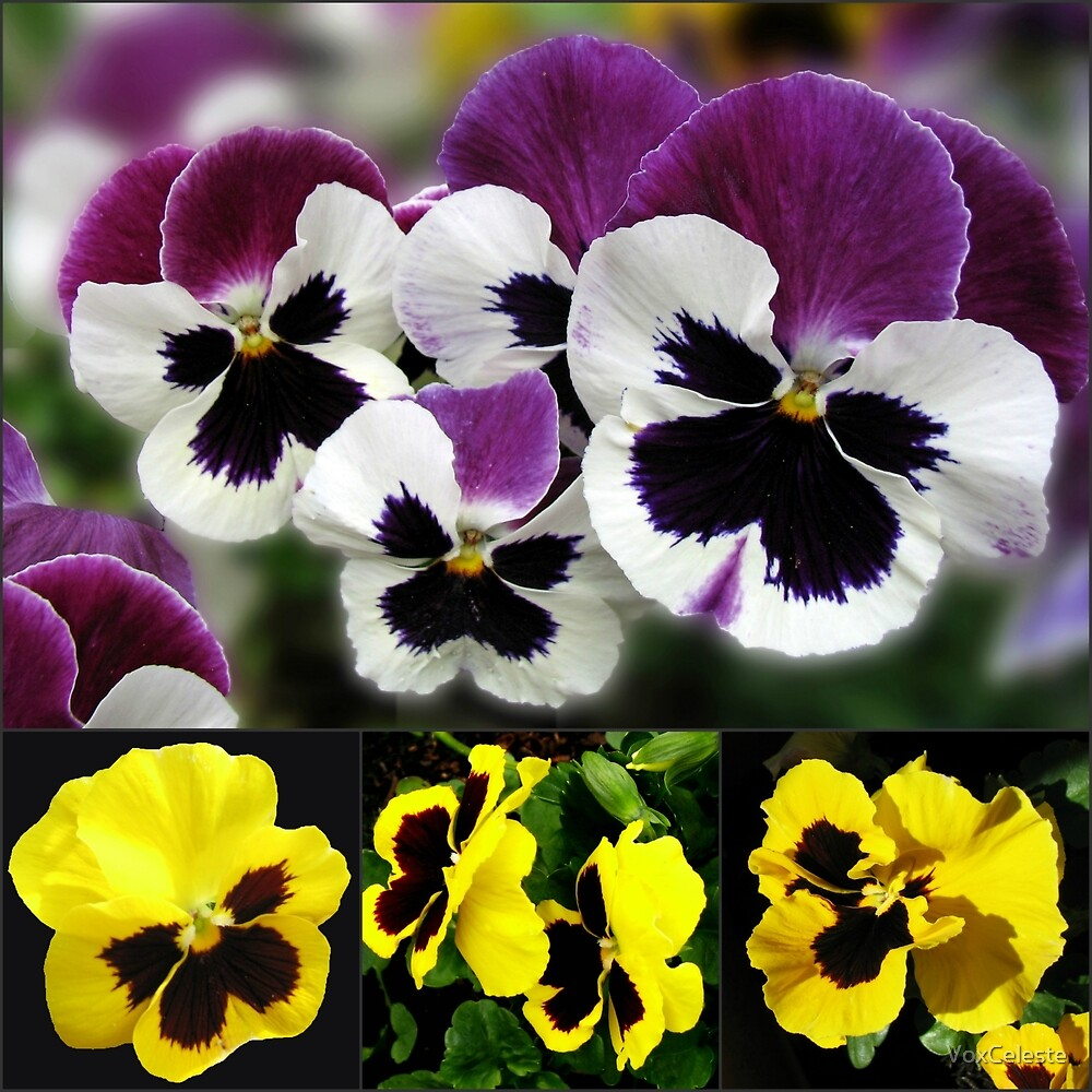 Cute Pansies Collage by VoxCeleste