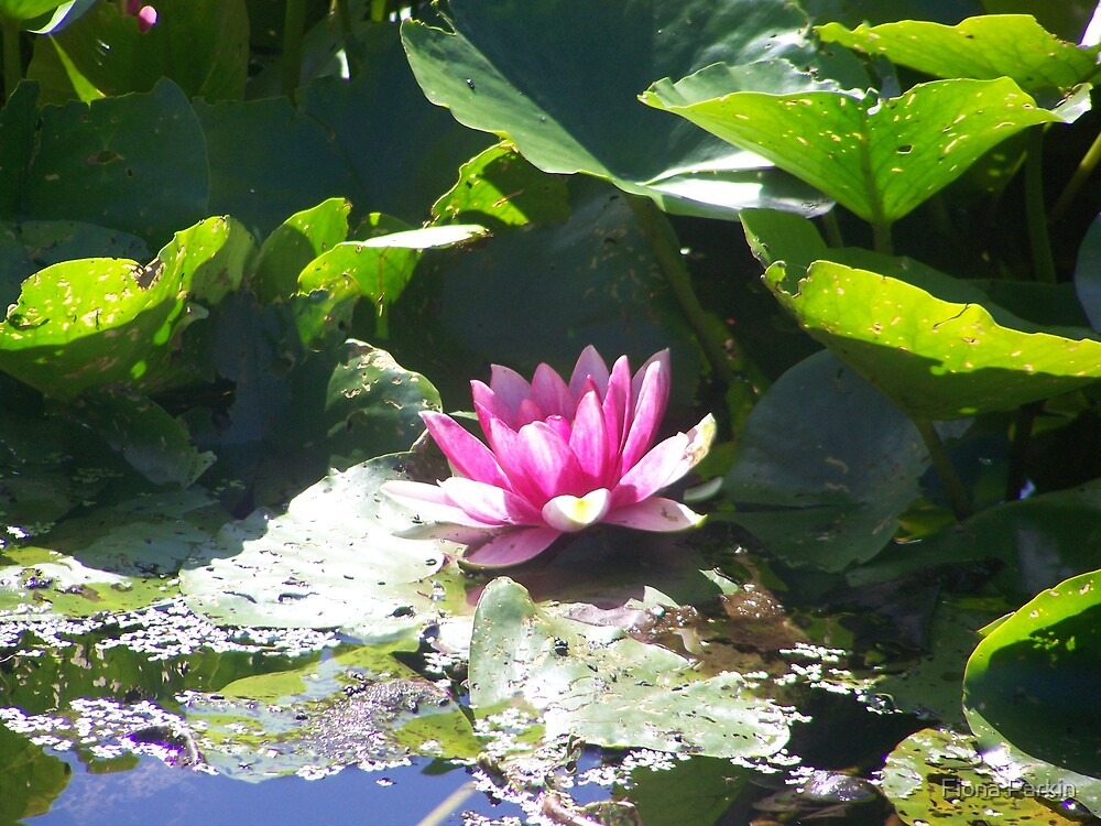 Water Lily by Fiona Parkin