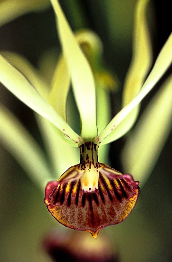 Orchid with Reflection by Virginia Maguire