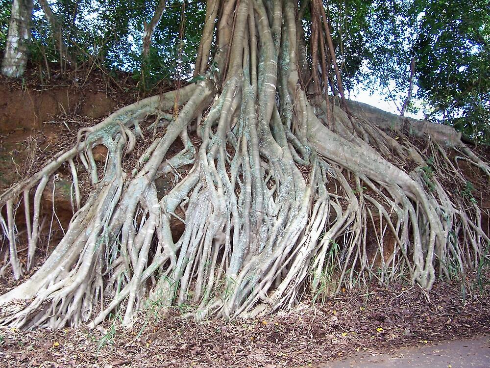 Banyan Roots in Molokai by revdrrenee