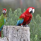 Military Macaw & Greenwing Macaw von Robert Abraham
