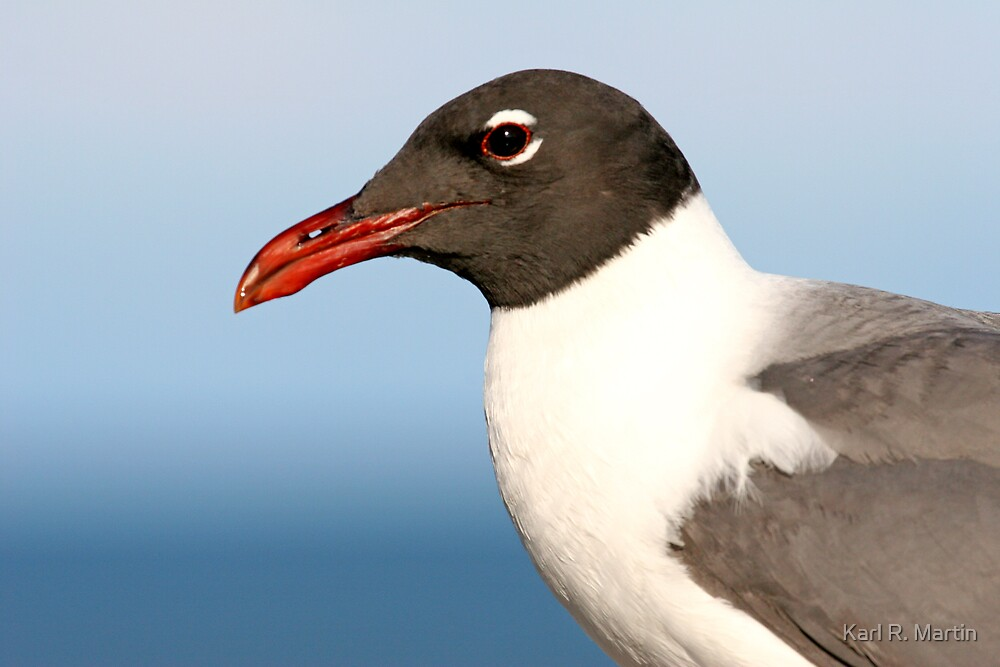 Laughing Gull by Karl R. Martin