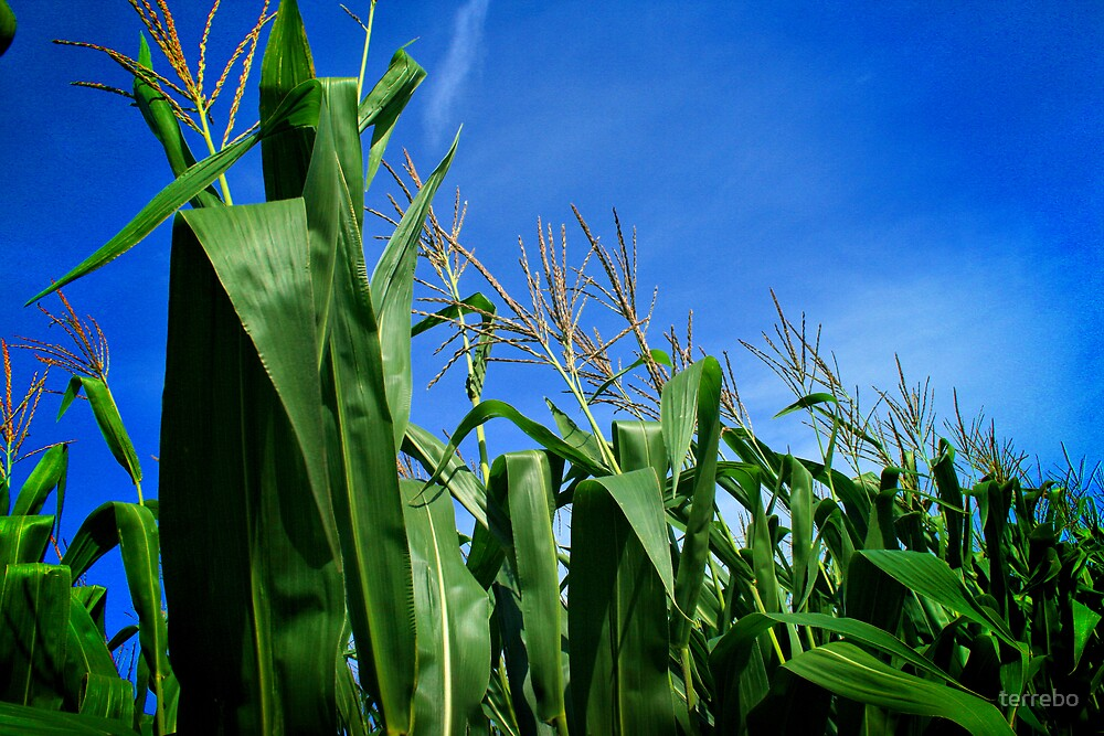 Corn Field In Blue Sky by terrebo