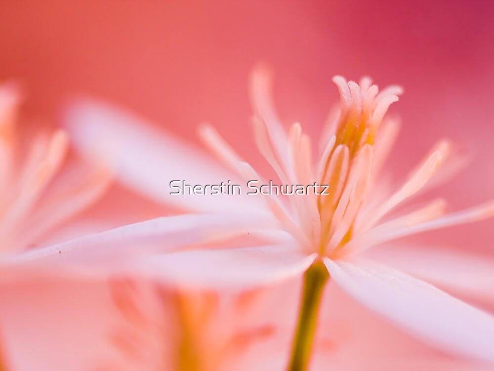 Pink Lace.  by Sherstin Schwartz