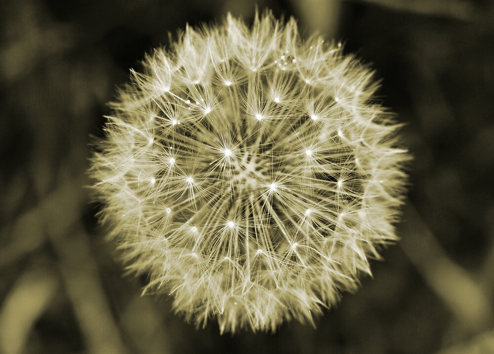 dandelion by Julian MacDonald
