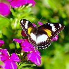 Lady Butterfly Visitor by Kerryn Madsen-Pietsch