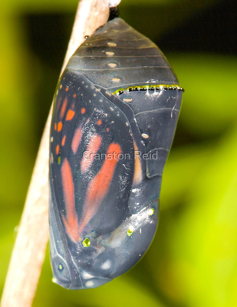 Monarch Butterfly ready to emerge by Cranston Reid