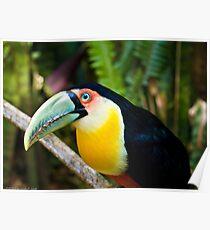 portrait of a toucan  Poster