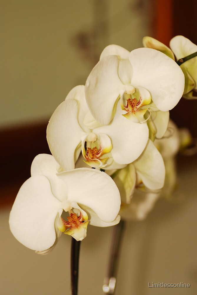 Orchids by Limitlessonline