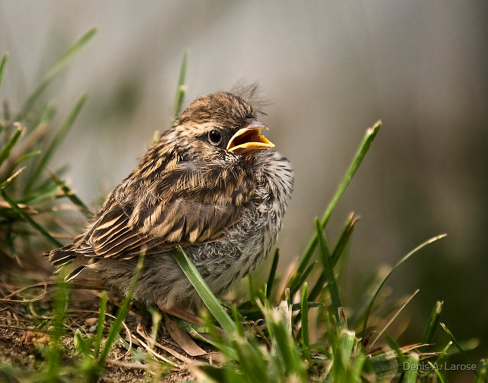 Baby Sparrow II by Denis A. Larose