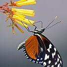 Tiger Longwing Butterfly by Lynda Anne Williams