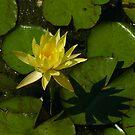Pond Flower by SeeingTime