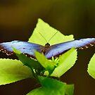 Blue Morpho Butterfly by Lynda Anne Williams