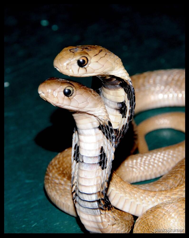 Baby Cobra 2 by pankajkumar