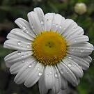 Oxeye Daisy by Tracy Wazny