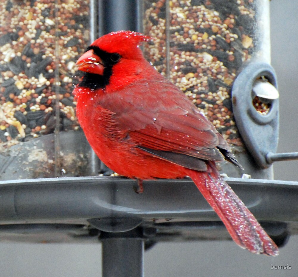 Male Cardinal covered with snow by barnsis