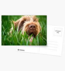 Brown Roan Italian Spinone Dog Head Shot Postcards