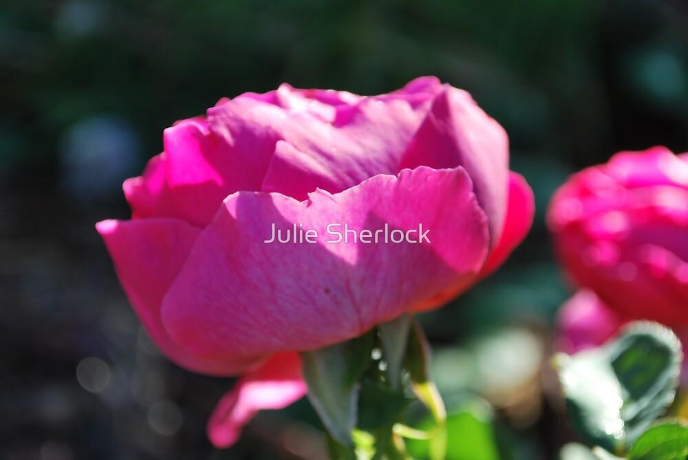 Rosa 'Othello' by Julie Sherlock