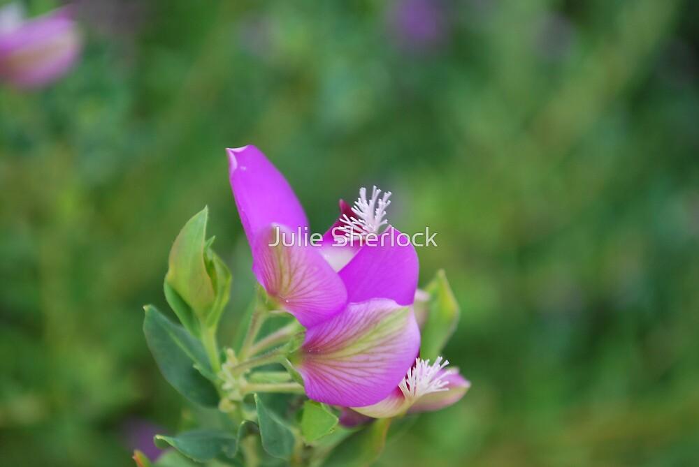 Polygala myrtifolia by Julie Sherlock