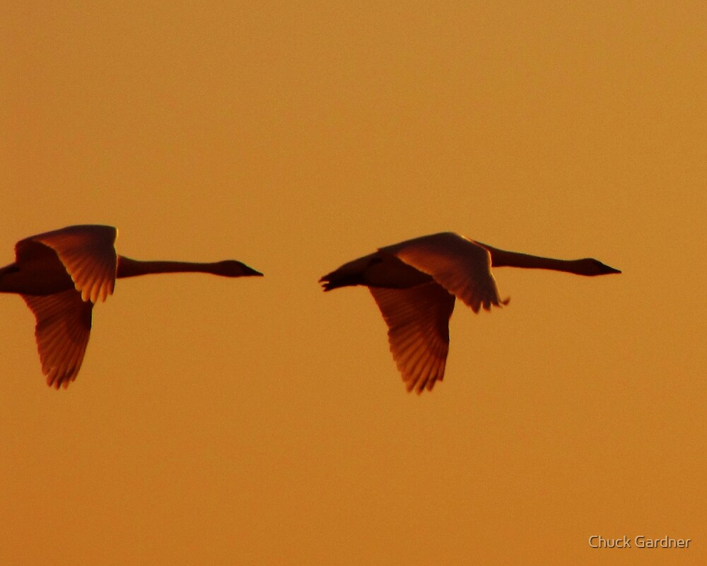 Tundra Swans Flying  into the Setting Sun #2  by Chuck Gardner