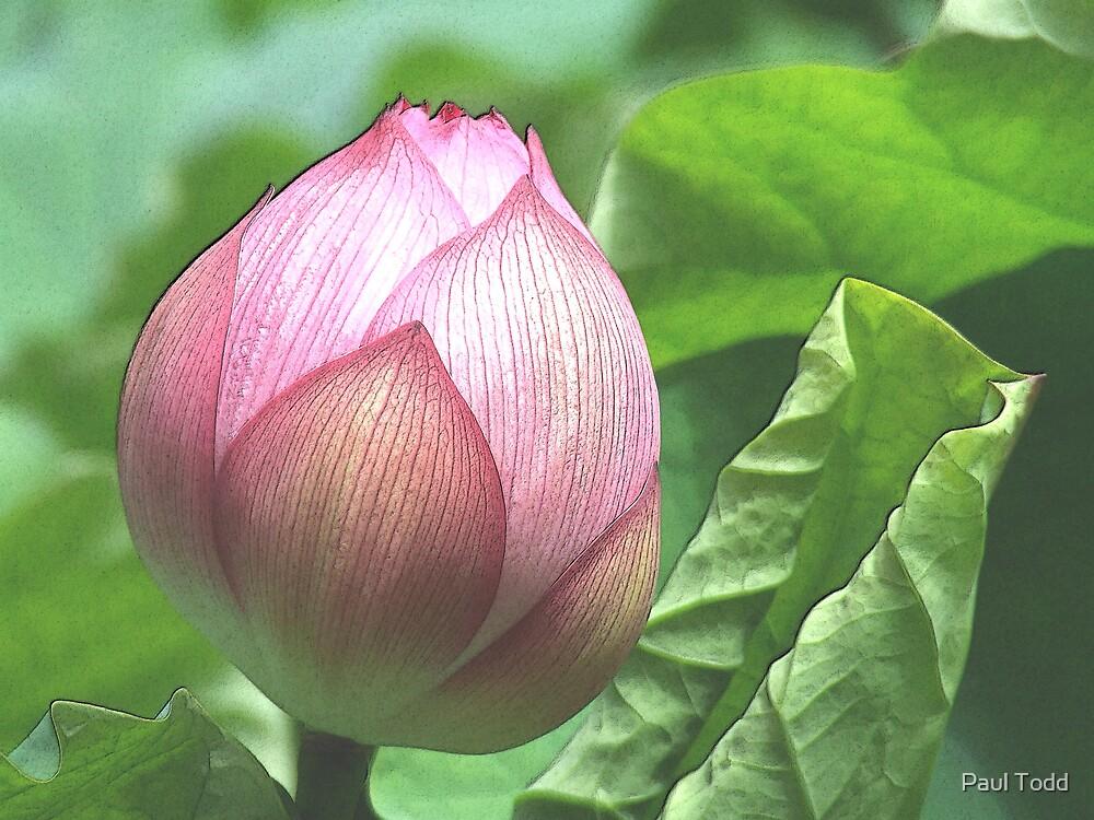Lotus Bud by Paul Todd