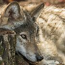 Timber Wolf Relaxing by WolvesOnly